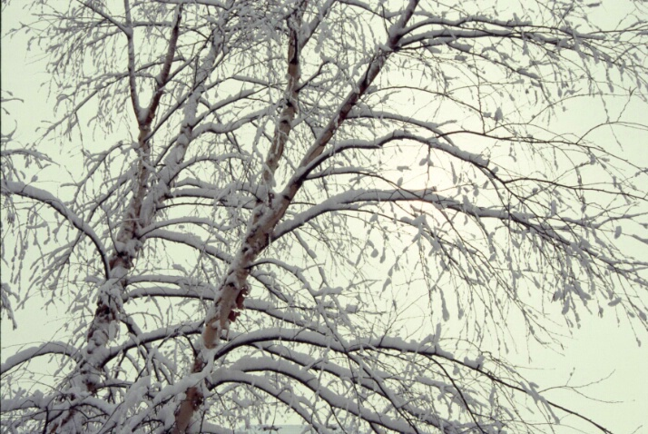 Snow Tree 3 - ID: 640862 © Lamont G. Weide