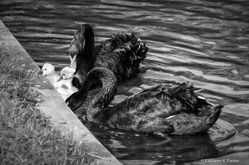 Portrait of a Swan Family - ID: 15550972 © Kathleen K. Parker